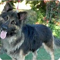 Belgian Tervuren/Keeshond Mix Dog for adoption in Fremont, California - Titan D2027