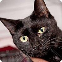 Domestic Shorthair Cat for adoption in Havana, Florida - Molly