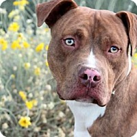 Adopt A Pet :: Rocky - Palm Springs, CA