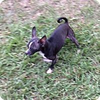 Adopt A Pet :: Skipper - Tavares, FL