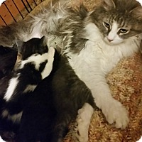 Maine Coon Cat for adoption in Medford, New York - Mama