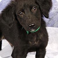 Adopt A Pet :: Merlin BC - St. Louis, MO