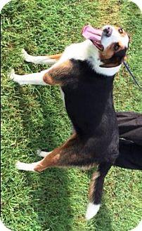 Australian Shepherd/Collie Mix Dog for adoption in Raleigh, North Carolina - Gracie