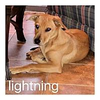 Adopt A Pet :: Lightning - Dallas, TX
