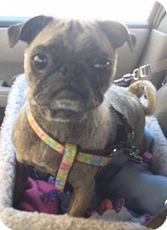 Pug Dog for adoption in Gardena, California - Charlotte