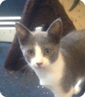 Domestic Shorthair Kitten for adoption in Trevose, Pennsylvania - Zeus
