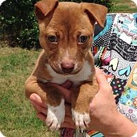 Adopt A Pet :: Finn - Troutville, VA