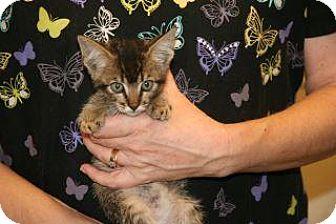 Domestic Shorthair Kitten for adoption in Wildomar, California - Stevie