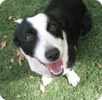 Border Collie Mix Dog for adoption in Corning, California - POPPET