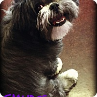 Adopt A Pet :: SMUDGE - Phoenix, AZ