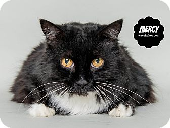 Domestic Longhair Cat for adoption in Wyandotte, Michigan - Mercy