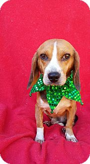 Beagle Mix Dog for adoption in Charlotte, North Carolina - Mr.Bojangles