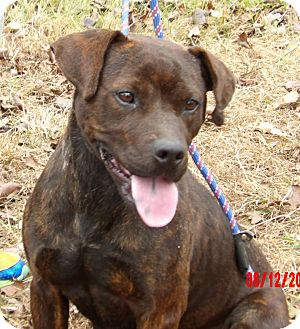 Labrador Retriever/American Staffordshire Terrier Mix Dog for adoption in West Sand Lake, New York - Lola (55 lb) Loving Sweetie!