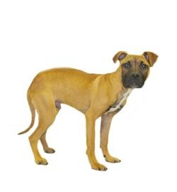 Boxer/American Bulldog Mix Puppy for adoption in Inverness, Florida - Bart
