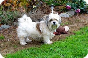 Shih Tzu Dog for adoption in Bellingham, Washington - Buttons