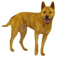 Adopt A Pet :: Velvet - Inverness, FL