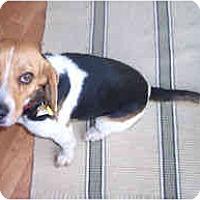 Adopt A Pet :: Irene - Novi, MI