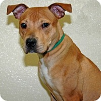 Adopt A Pet :: Chief - Port Washington, NY