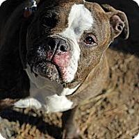 Adopt A Pet :: Sassy - Tinton Falls, NJ