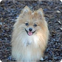 Adopt A Pet :: Gizmo - Ft. Myers, FL