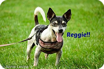 Rat Terrier Mix Dog for adoption in Jupiter, Florida - Reggie