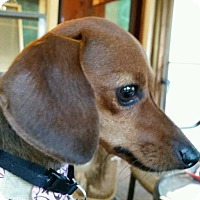 Adopt A Pet :: Cleopatra Apple Blossom - Decatur, GA