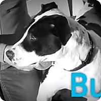 Adopt A Pet :: Buddy - Red Bluff, CA