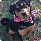 Adopt A Pet :: Remington -Adoption Pending -Congrats Stansfields!