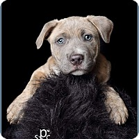 Adopt A Pet :: Sterling - Norman, OK