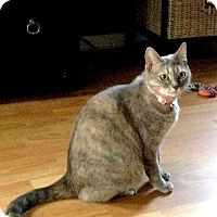 American Shorthair Cat for adoption in Marina del Rey, California - Mitzy