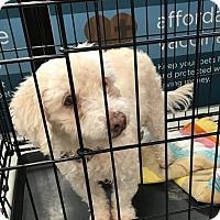 Adopt A Pet :: Chulo - Tucson, AZ