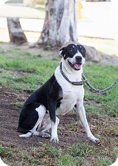 Basenji/Australian Shepherd Mix Puppy for adoption in San Diego, California - Maja