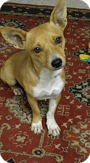 Chihuahua/Dachshund Mix Dog for adoption in Coldwater, Michigan - Sassy (pending)