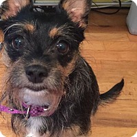 Adopt A Pet :: Piper - Pending Adoption - Garden City, MI