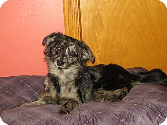 Yorkie, Yorkshire Terrier/Shih Tzu Mix Puppy for adoption in New Middletown, Ohio - Hope