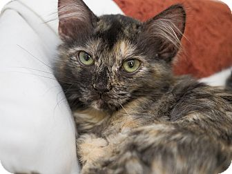 Domestic Longhair Kitten for adoption in Los Angeles, California - Marie