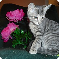 Adopt A Pet :: Kovu - Chicago, IL