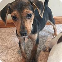 Adopt A Pet :: Moose - Round Lake Beach, IL