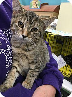 Domestic Shorthair Kitten for adoption in Richmond, Virginia - Jennifer
