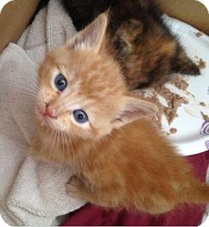 Domestic Shorthair Kitten for adoption in Morgan Hill, California - Solar
