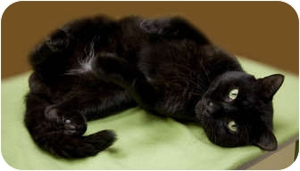 Domestic Shorthair Cat for adoption in Chicago, Illinois - Onyx Abe