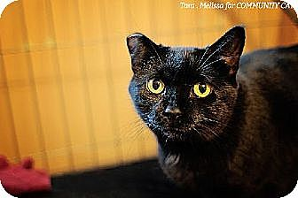 Domestic Shorthair Cat for adoption in Whitewater, Wisconsin - Ebony