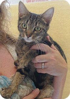 American Shorthair Cat for adoption in Hazard, Kentucky - LaTisha
