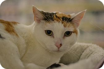 Calico Cat for adoption in Gilbert, Arizona - Misfit