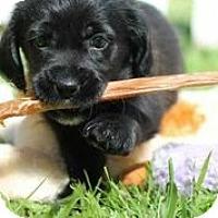 Adopt A Pet :: Caireann - Austin, TX