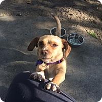 Adopt A Pet :: Ladybug - Burbank, CA