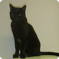Adopt A Pet :: Sheba - Hamburg, NY