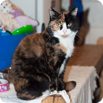 Calico Cat for adoption in New Martinsville, West Virginia - Carrie