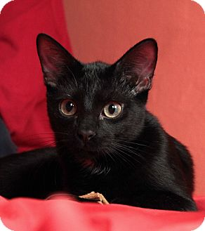 Domestic Shorthair Kitten for adoption in St. Louis, Missouri - Freddie