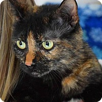 Domestic Shorthair Cat for adoption in knoxville, Tennessee - Luna female $45